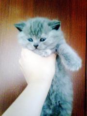 Британские голубые котятки