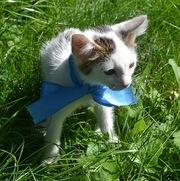 Отдам в добрые руки котенка,  1, 5 мес,  окрас белый с серыми ушками