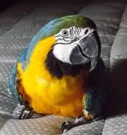 Uдома,  поднятые и зарегистрирован синих и золотых попугаи ара для прод