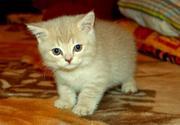Продам британского котенка.
