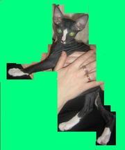 Продам котенка донского сфинкса,  мальчик
