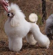 Продаётся щенок пуделя карликового.